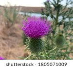 Close Up Blooming Bull Thistle...