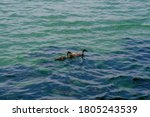 Two Duck Swimming On The Lake