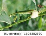 Praying Mantis Laying Eggs On...