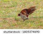 Male Pheasant Courting A Femal...