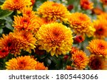 Blossom Chrysanthemums Red...