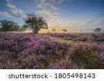 Flowering Heather Fields And...