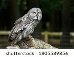 Great Grey Owl Perched On A Log