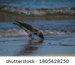 Hooded Crow Catching Fish On...