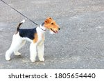 Small photo of The Wire Fox Terrier looks forward and is held back by a thin leather leash on a bright sunny day, image with copy space.