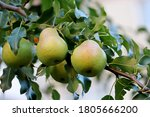 Ripe Pears Hanging On A Tree...