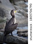Great Cormorant Sits On The...