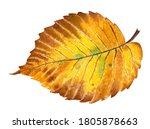 Autumn Leaf Of An Elm Tree. It...