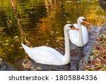 Pair Of White Swans Swim Near...