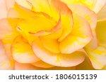 Detail Of Begonia Flower....