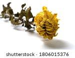 Faded Yellow Chrysanthemum...