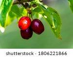 Cornus Fruit  Cornus Mas ....
