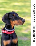 Doberman Puppy Portrait On A...
