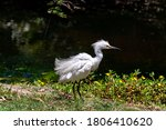 A Snowy Egret  A Member Of The...