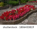 Begonia Flower Bed Mix Of Red...