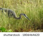 Great Blue Heron In Tall Grass...