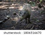 Babyrousa Or Deer Pig Looking...