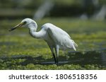 Little Egret On Water With...