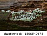 Rare Small Slime Mold On The...