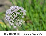 single  blooming white allium...