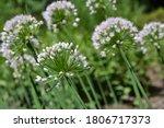 allium flower  onion  garlic ...