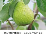 Ripe Pear On A Branch After Th...