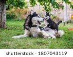 Siberian Husky Dog Is Playing...