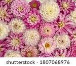 Pink White Dahlia Flowers ...