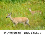 A White Tail Deer Mom And Its...