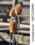 spiky teasel head dipsacus...   Shutterstock . vector #1807233889