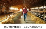Small photo of Young African American man farmer walking in stable with flock of sheep and carrying bucket full of water. Handsome male shepherd stepping in barn and holding bin. Feeding cattle. Farming work.