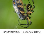 A Large Yellow Garden Spider ...