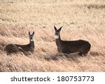 White Tailed Dear Doe And Youn...