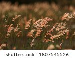 beautiful grass flower swaying... | Shutterstock . vector #1807545526