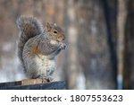 Wild Eastern Gray Squirrel ...