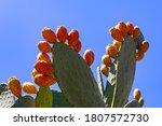 Opuntia Ficus Indica  The...