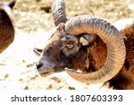 Wild Ram With Huge Horns