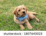 Golden Doodle Puppy Playing In...