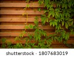 Wooden Fence With Green Ivy Of...