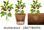 set of tomatoes plant with... | Shutterstock .eps vector #1807780393