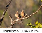 Two Mourning Dove On A Dead...