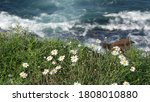 Simple White Oxeye Daisies In...