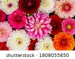 Red White Dahlia Flowers With...