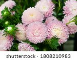 Beautiful Bouquet Of Asters...
