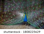 Indian Peacocks With Colourful...