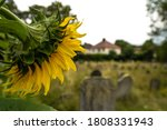 Bright Sunflowers In The Old...
