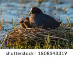 White Winged Coot In Her Nest...
