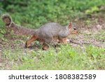Fox Squirrel Posing For The...