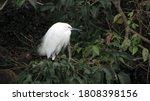Close Up Shot Of A Snowy Egret...