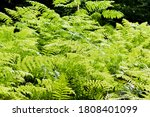 Ferns In The Lunchtime Light I...